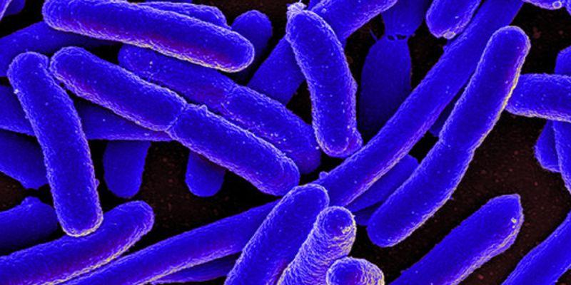 Bactéria E. coli e Salmonella Montevideo